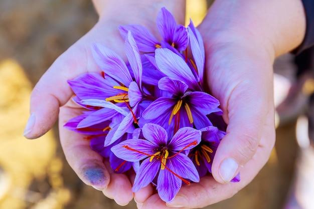 손에 가을 크 로커 스 꽃입니다. 사프란 수확. 기미.