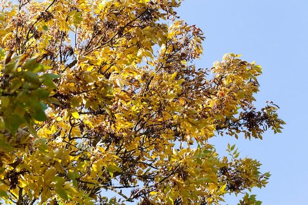 Осенью потемнела и пожелтела листва ясеня в осенний сезон, солнечная погода днем