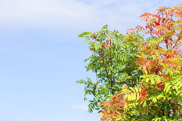 가을 날. 아름다운 마가목 나무와 푸른 하늘