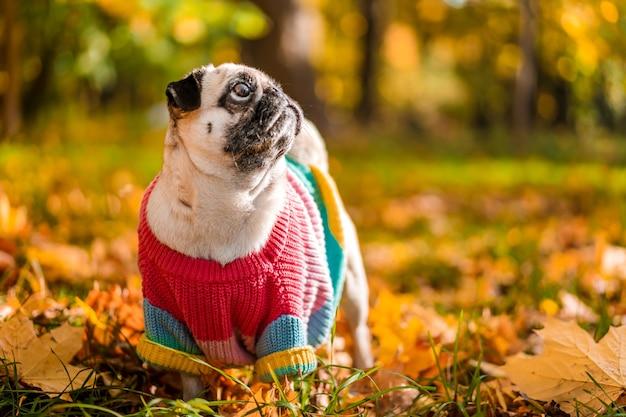 暖かいセーターの秋の犬のパグは、秋の森の色とりどりの葉に立っています