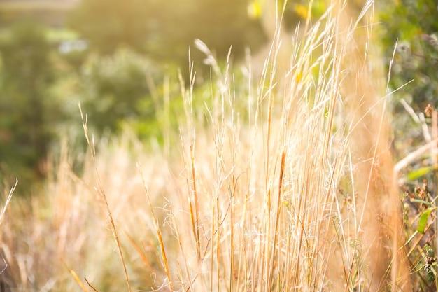 秋の乾いた草。収穫期。美しい風景。自然な風合い。