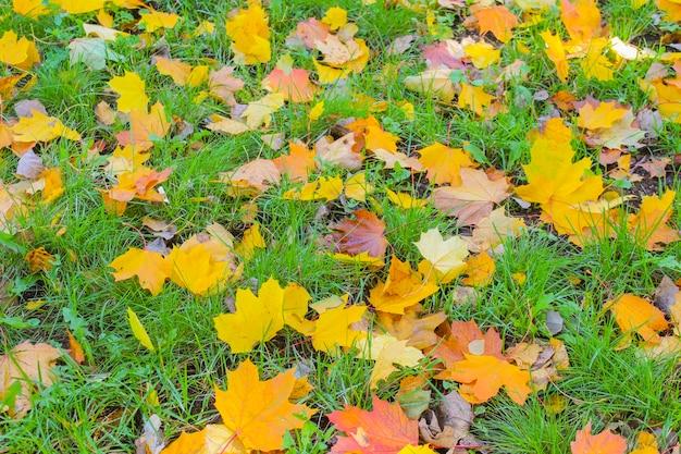 緑の草の上に秋の乾燥したカエデの葉