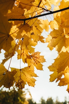 Autumn and fall composition. beautiful yellow maple leaves in the park. fall concept and natural.