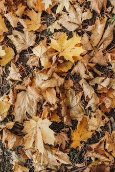 Autumn and fall composition. beige maple leaves