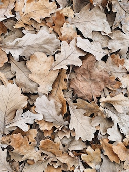 Autumn and fall composition. beige oak leaves