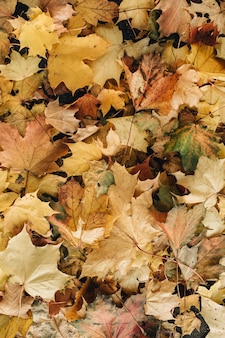 Autumn and fall composition. colorful orange, yellow, green maple leaves