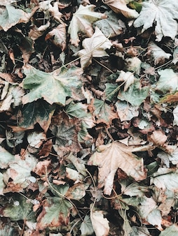 Autumn and fall composition. dried green and beige maple leaves
