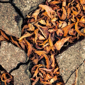 Autumn fallen leaves in the cracks of the asphalt.