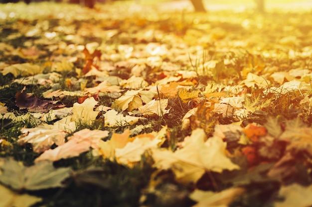 Осенние опавшие листья клена на землю на зеленой траве. листва падают на землю. вспышка