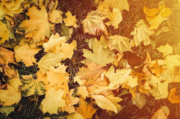 Осенние опавшие листья клена на землю на зеленой траве. листва падают на землю. вид сверху. вспышка