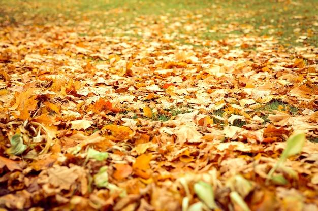 Осенние опавшие листья клена на землю на зеленой траве. опадать листва на землю