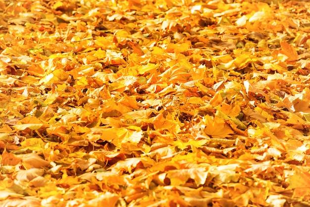 가 낙된 오렌지 공원에서 나뭇잎. 가을 배경