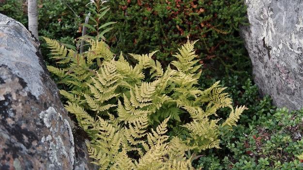 Autumn fern between a rock crack
