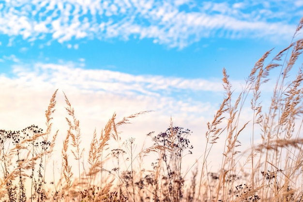 Autumn field. dry tall grass and blue sky.