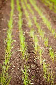 Осеннее поле озимой пшеницы крупным планом зрения