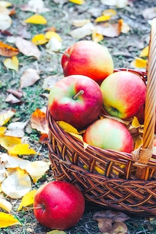가을 플랫리. 고리버들 에코 바구니에 노란 잎이 있는 사과.