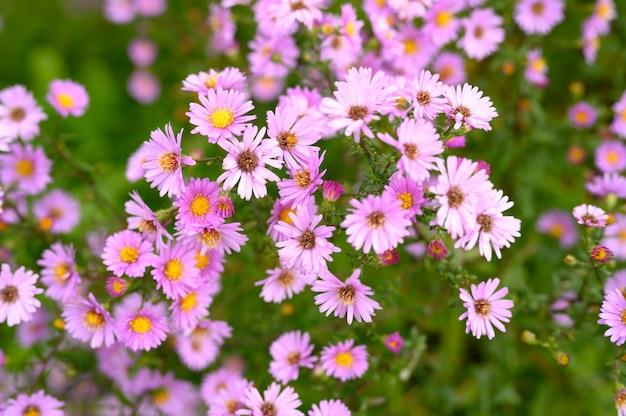 Autumn flowers aster novi-belgii vibrant light purple color in full bloom in the garden