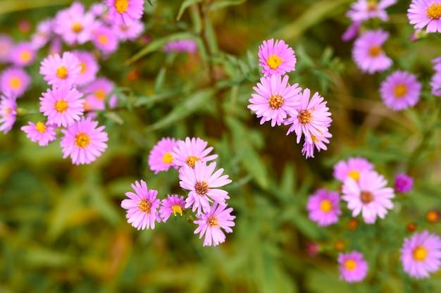 秋の花アスターノビ-庭に咲く鮮やかな薄紫色