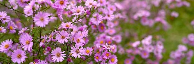 秋の花庭に咲くアスターの鮮やかな薄紫。