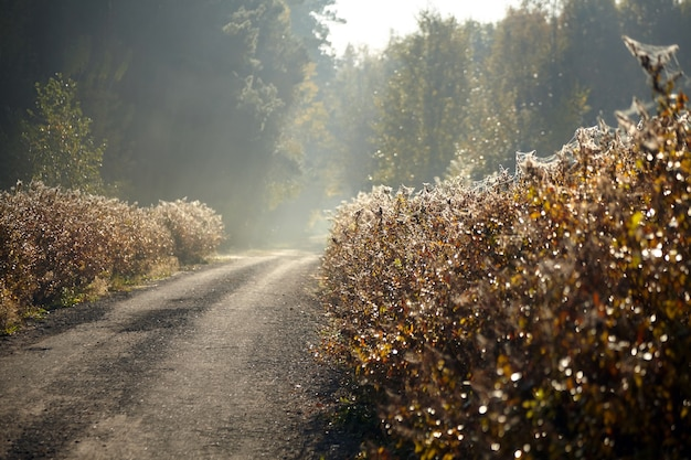 Autumn foggy forest and road with shrubs covered with spiderweb in morning sun rays