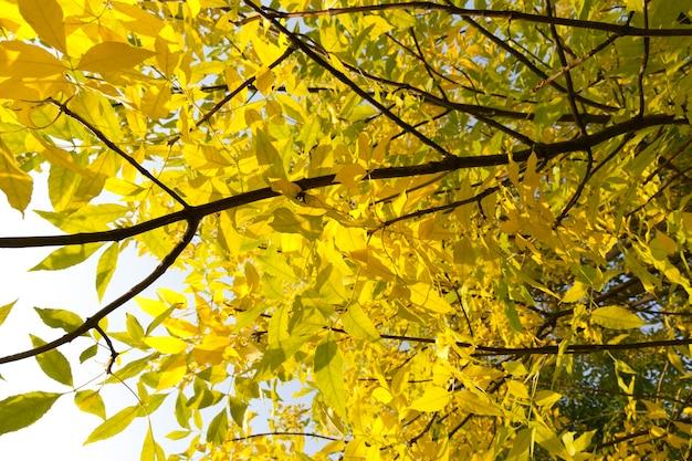Осенняя листва на ясене перед настоящим листопадом, фото крупным планом в лесу