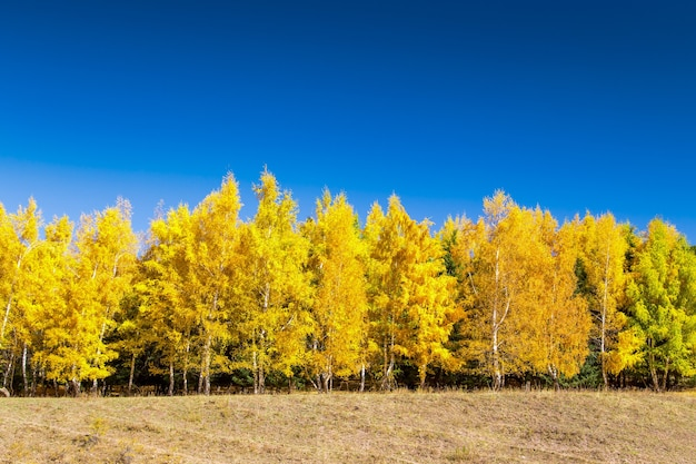 Autumn forest. beautiful trees of lilacs. bright natural colors. natural landscape of autumn.