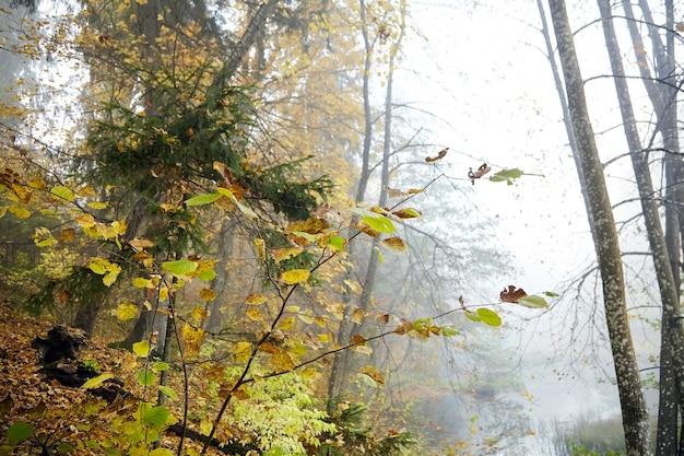 Осенний лес, хвойные и лиственные деревья и кустарники, природа в октябрьское туманное утро