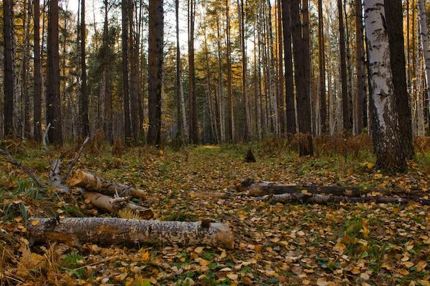 가을 숲, 도로에 떨어진 나무. 자작 나무와 소나무 숲