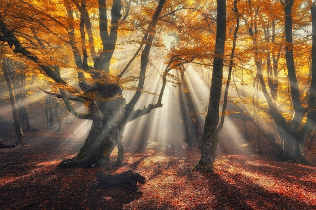 Autumn forest in fog with sun rays.
