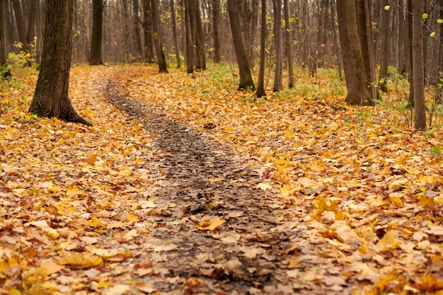 Autumn forest footpath with fallen leaves. beautiful birch alley. calm weather. no people. season change time.