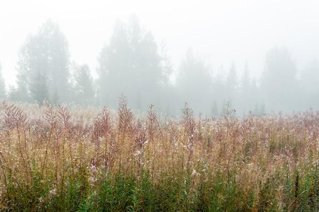 朝の霧の中で色あせたヤナギランと秋の森の空き地