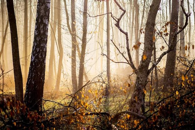 朝の秋の森、霧の中から日光が差し込む