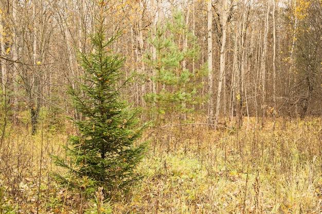 가을 숲 풍경, 혼합 낙엽수와 침엽수림. 가을 야생 자연의 다른 나무, 전나무, 소나무, 자작나무
