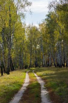 Осенний лесной пейзаж березовой рощи с кустами и тропой.
