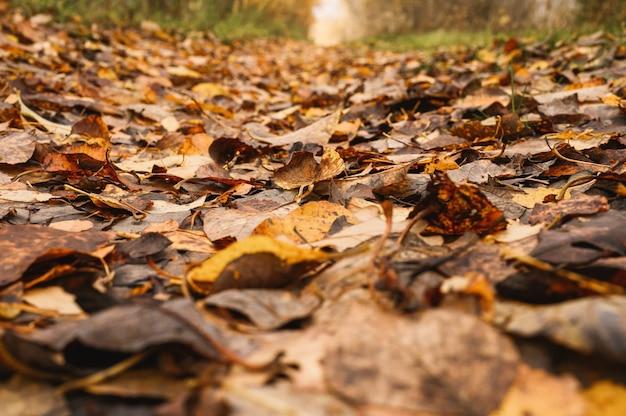 Осенний лесной пейзаж. открытая лесная дорога усыпана красной желто-оранжевой опавшей листвой и деревьями с падающими листьями на обочине пути. путешествие в россию