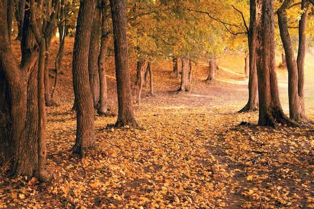 秋の森の風景。木々、空の小道、地面に落ちた葉。