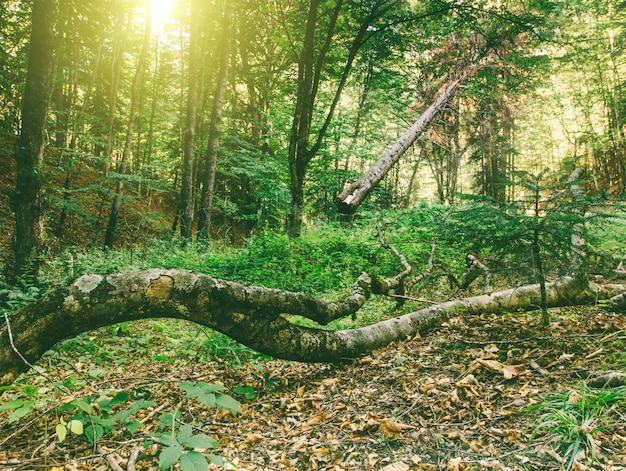 Autumn forest landscape with fallen old trees