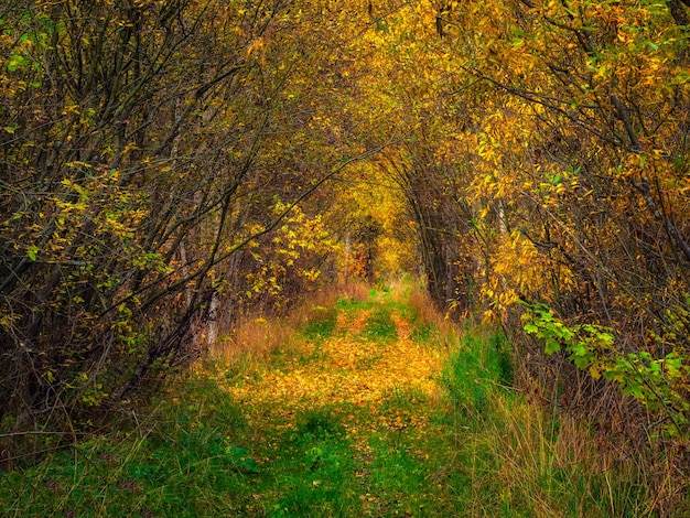 Осенняя лесная дорога под аркой деревьев, закрывающих небо. путь вглубь леса, блики солнца на осенней листве.