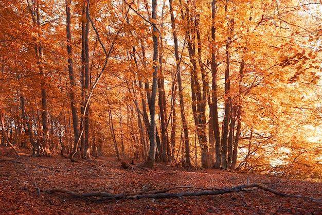 秋の森。赤と黄色の葉を持つ木