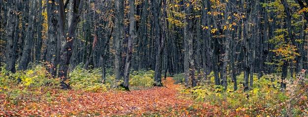 木々に色とりどりの葉と木々の間の道に落ち葉がある秋の森。秋の森のパノラマ