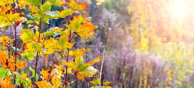 晴れた日に木々や低木の密集した茂みのある秋の森。秋の森、パノラマの木にカラフルなカエデの葉