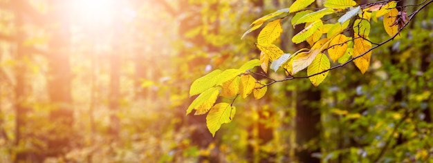 Autumn forest with golden leaves on trees in sunny weather during sunset, autumn background, panorama