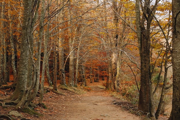 Autumn forest with a path in the middle and colourful leaves in the ground and in the trees