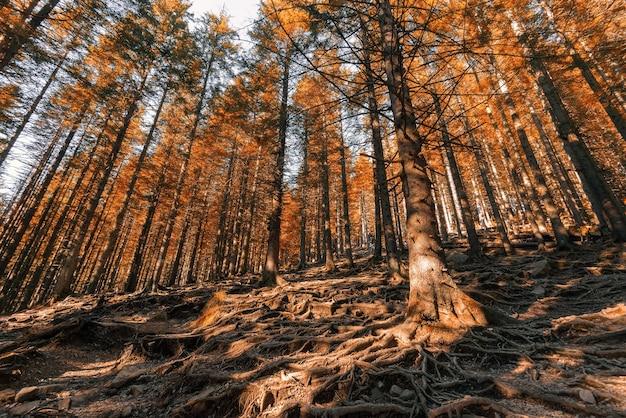 Осенний лес с деревьями с большими корнями, торчащими из земли.