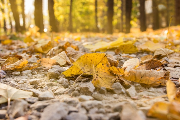 Autumn forest with yellow foliage in moderate sunlight