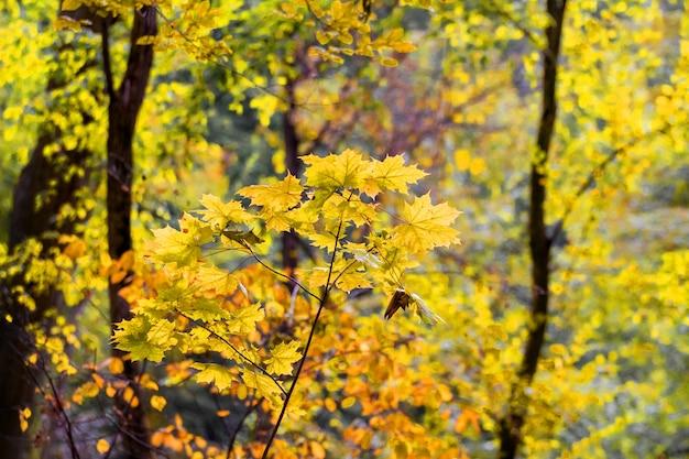 明るい日光の下で黄色の葉を持つ秋の森