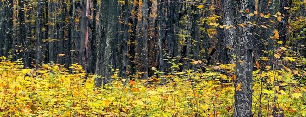若い木、パノラマに黄色の葉を持つ秋の森