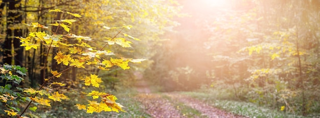 手前に黄色いカエデの葉があり、晴天時には未舗装の道路がある秋の森