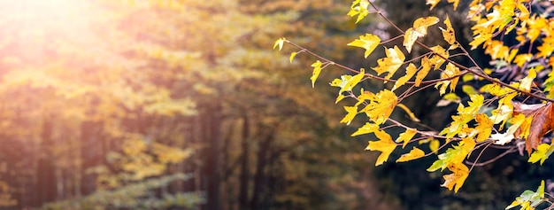 晴れた日にはぼやけた背景に黄色のカエデの葉と秋の森