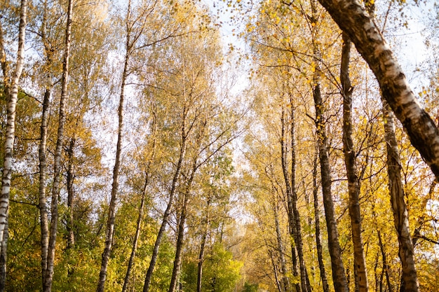 秋の森。樹冠に黄色の葉。バーチグローブ。